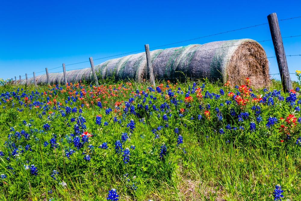 Why Texans Love Bluebonnets